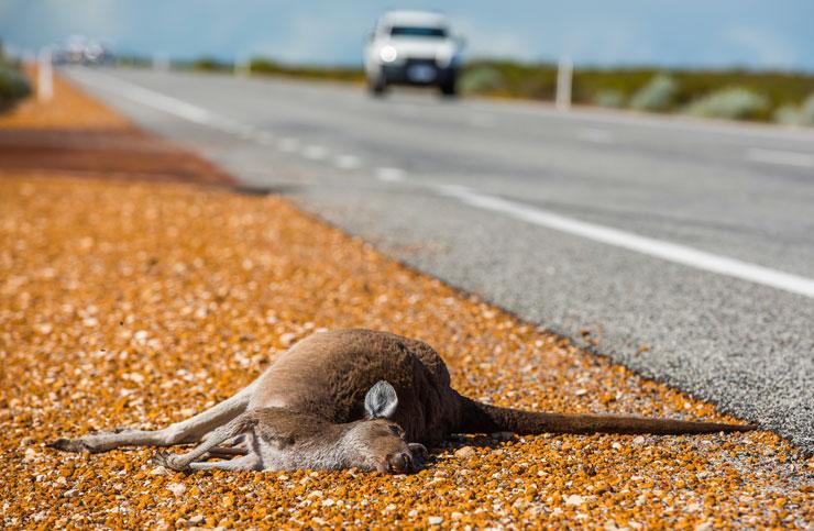 Dead-kangaroo-740