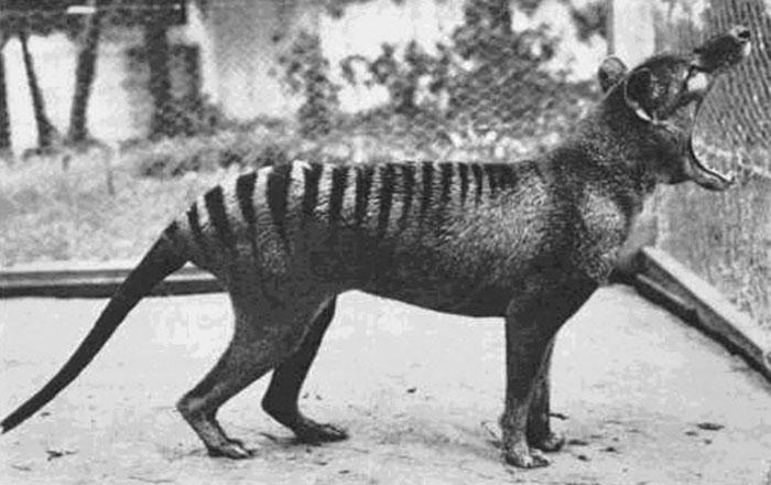 Thylacine-Benjamin-700