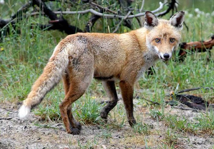 fox-dark-legs