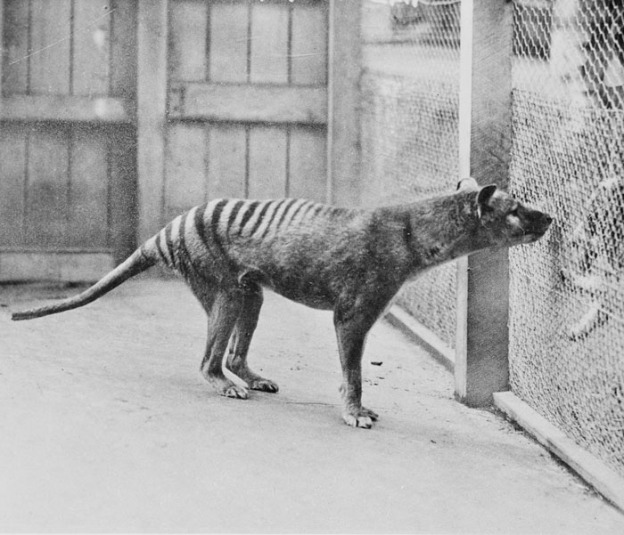 Thylacine-broad-tail