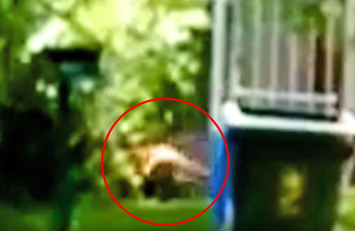 The animal filmed in the Adelaide Hills appears to have a tail similar to a Thylacine
