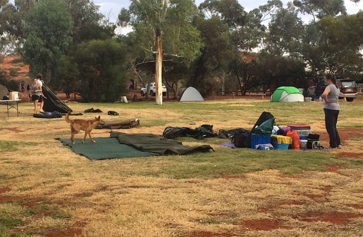 dingo-in-camp-at-yulara